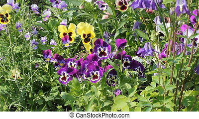 Assortment of Pansies (Viola tricolor hortensis)
