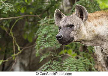 Spotted hyena in wild