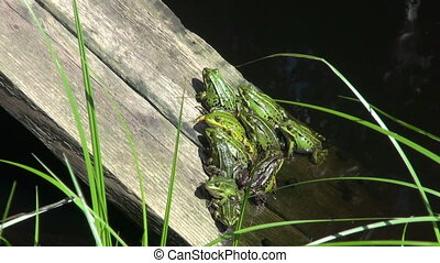 green frog group on plank in pond