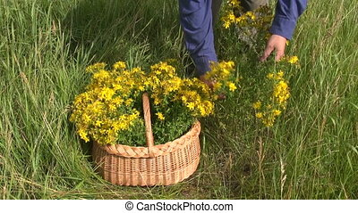 picking fresh medical herb tutsan flower on summer meadow