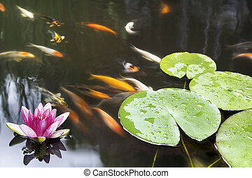 Lily Pad Pink Flower in Koi Pond - Lily Pad Leaf and Pink...