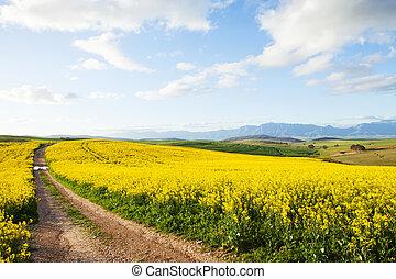 Farm dirt road between yellow canola flower fields