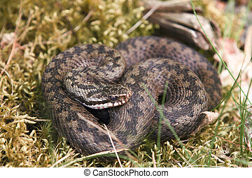 Northern viper in closeup - A curled up northern viper in...
