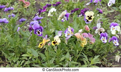 Assortment of Pansies Viola tricolor hortensis