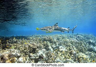 pilotfish, サメ,  blacktip, 砂洲