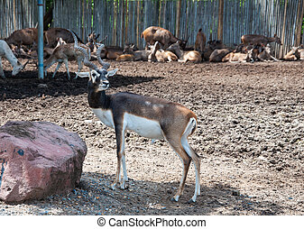 Black buck in zoo - Black Buck in zoo or safari of Thailand