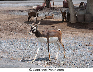 Black buck in zoo - Black Buck in zoo or safari of Thailand.