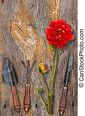 Vintage garden tools and red dahlia on wooden surface