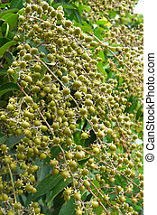 Seeds of Queens crape myrtle Lagerstroemia speciosa L Pers...