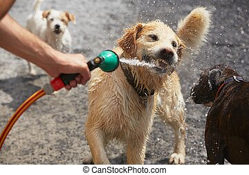 Hot day with dogs - Playful dogs are catching water stream -...
