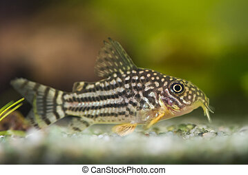 fish Corydoras sterbai - beautiful aquarium fish Corydoras...