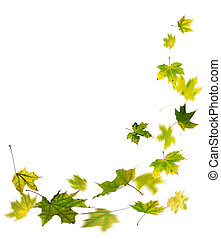 Autumn green leaves falling - Maple green autumn falling...