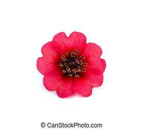 bright beautiful red flower - bright beautiful red rose is...