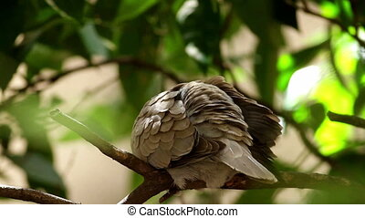Eurasian Collared Dove self cleaning