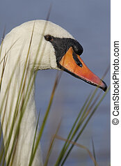Mute swan, Cygnus olor, single bird head shot in reeds,...