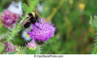 bumble-bee on thistle flower close-up
