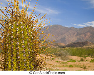 Long spine cactus