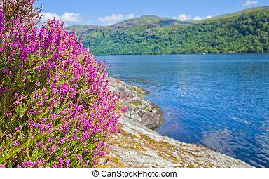 Loch Lomond, heather flowering