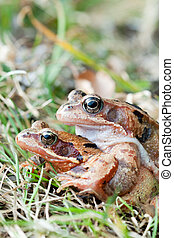 Mating frog after hibernation and before spawning migration