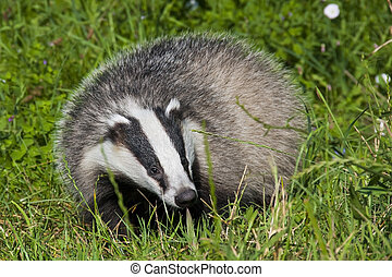 European badger Meles meles in the grass