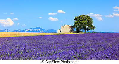 Lavender flowers blooming field, wheat, house and lonely...