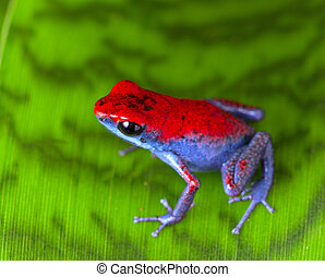 strawberry poison frog - strawberry poison dart frog red and...
