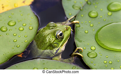 Frog on lily pad a macro background