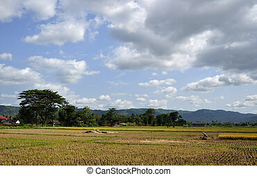 Farmer Harvesting Rice in Paddy Fields