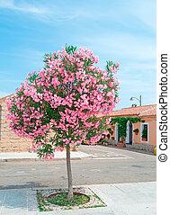 oleander tree - Oleander tree in San Pantaleo, Sardinia