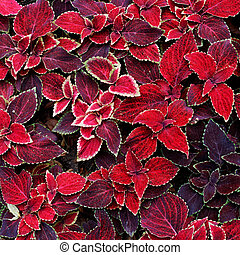 decorative red coleus leaves