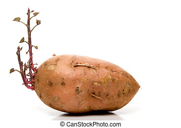 Sweet Potato - A sweet potato with brand new growth.