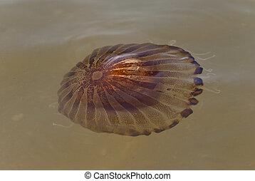 指南針, 水母, (Chrysaora, hysoscella), 海