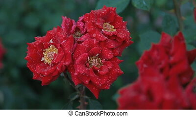 Wet red roses - Wet roses with the drops on petals