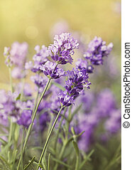 Lavender flowers on a wooden background