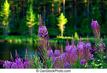 lake with fireweed flowers - Scandinavian lake with fireweed...