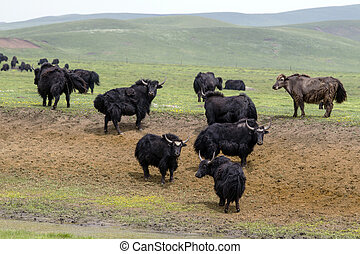 Tibetan Yaks in the grassland,sichuan , china