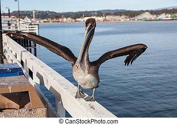 Brown Pelican Pelecanus occidentalis on Santa Cruz Wharf