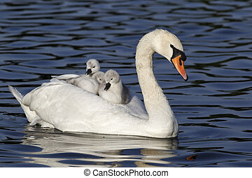 Mute swan, Cygnus olor, Female with young on back, London,...