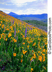 Wildflowers - Yellow wildflowers in full bloom in the...