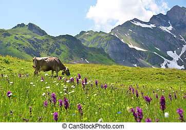 Cow in an Alpine meadow Melchsee-Frutt, Switzerland