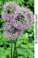 Allium flower heads