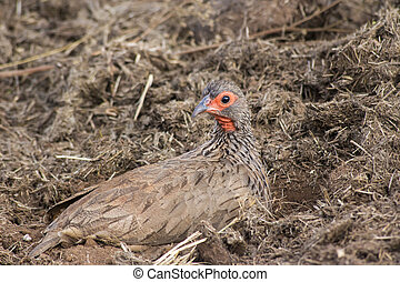 Swainson's Spur Fowl - A Swainsons Spur Fowl sitting in...