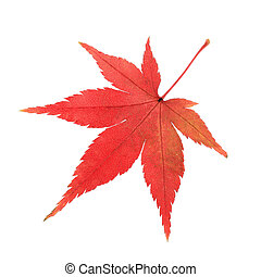a maple leaf - a red maple leaf isolated on white