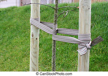 Young tree tied - The young tree is tied up to provide...