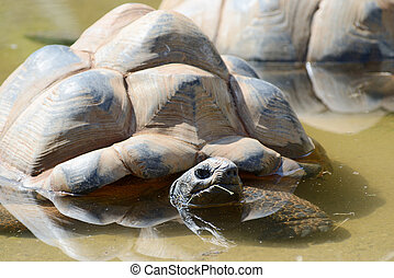 Giant tortoise keeping cool on a sunny day in a pool of...