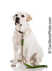 Beautiful Labrador - Beautiful labrador retriever sitting on...