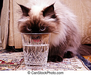 thirsty cat - Persian Himalayan Cat drinking from crystal...