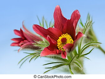 Pulsatilla vulgaris on blue background