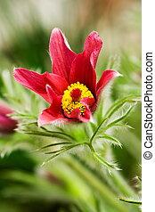 Pulsatilla vulgaris in garden
