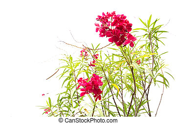 Red oleander flowers isolated on white background - Red...